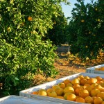 Fruit Picking Jobs in Berri, South Australia